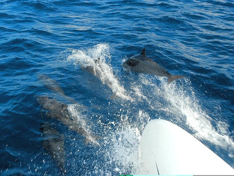 dolphins in martinique