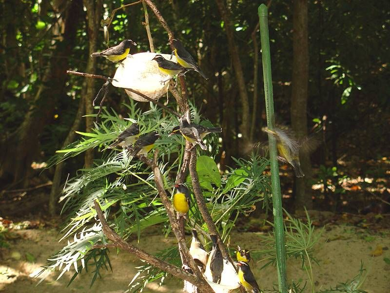 sucrier birds of martinique