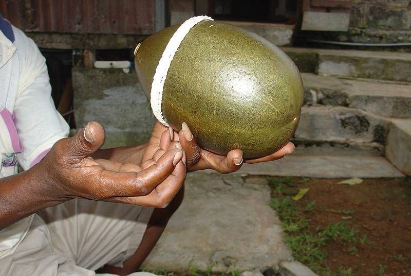martinique_calabash_fruit_008